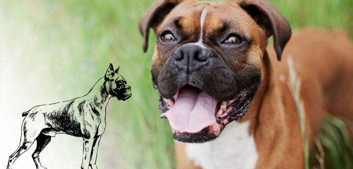 boxer dog and a boxer dog breed sketch