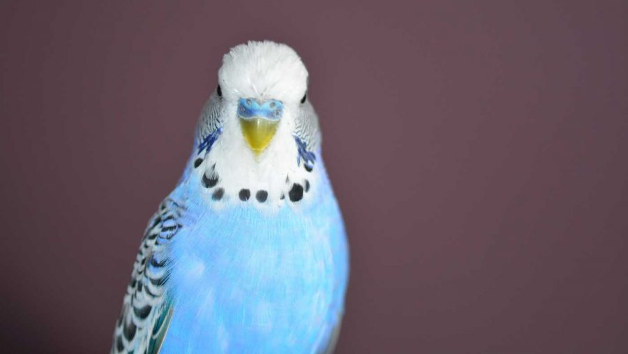 pretty blue parakeet or budgie