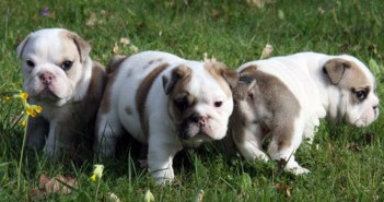 purebred bulldog puppies