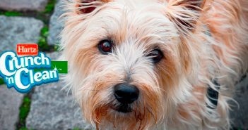 cairn terrier picture with hartz crunch n' clean logo