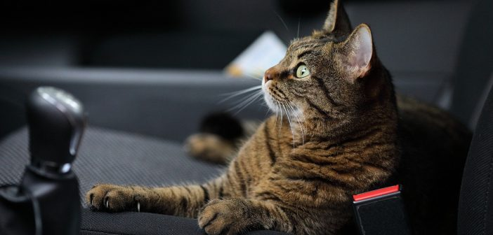 pet cat in the front seat of a car