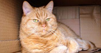 big orange cat laying in a cardboard box