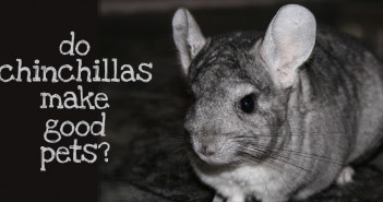 pet chinchilla