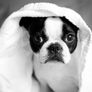 freshly bathed dog in a towel