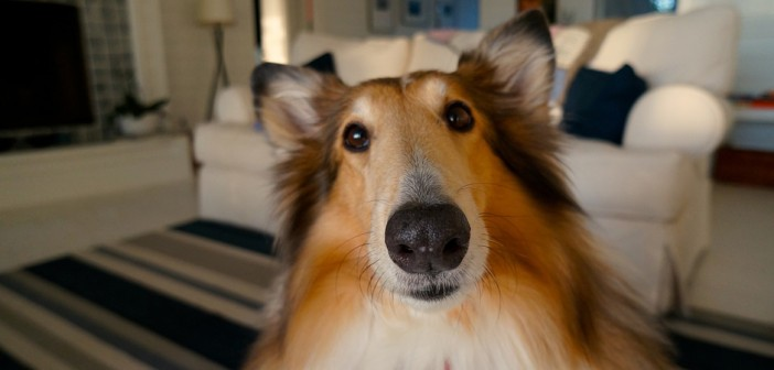 close up of a collie's facial expression