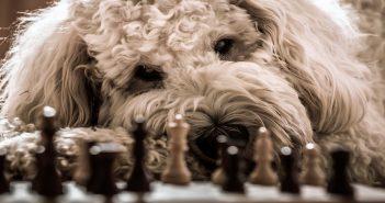 convince-boss-office-pet-poodle