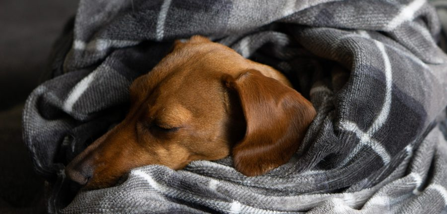cozy, calm dog sleeping in a wrapped up blanket