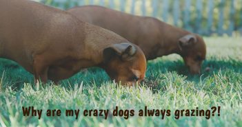 two dachshund dogs eating grass in the yard