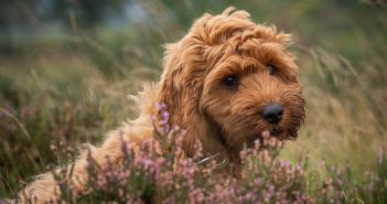 cute cockapoo outside in a field