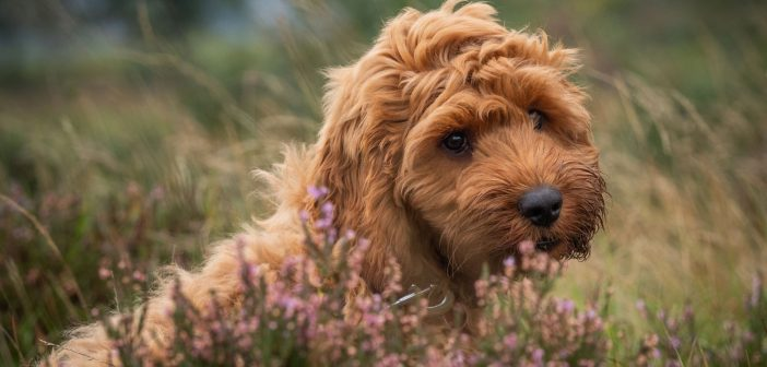 Cockapoo Puppies Facts and Personality Traits