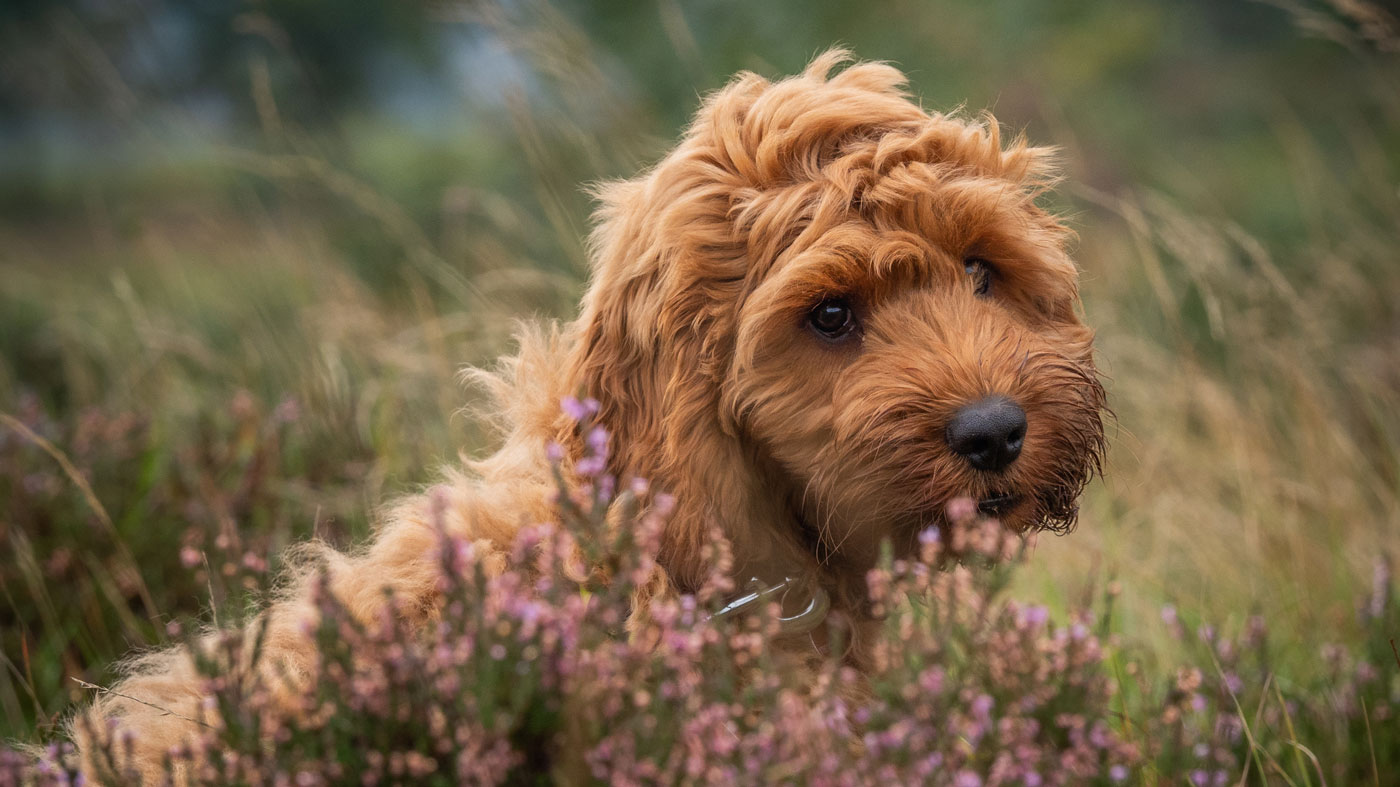 Cockapoo Puppies Facts and Personality Traits - PetsBlogs