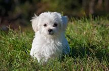 cute little white puppy sitting outside in the grass