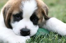 closeup of a saint bernard puppy