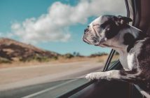 dog hanging his head out of the car window