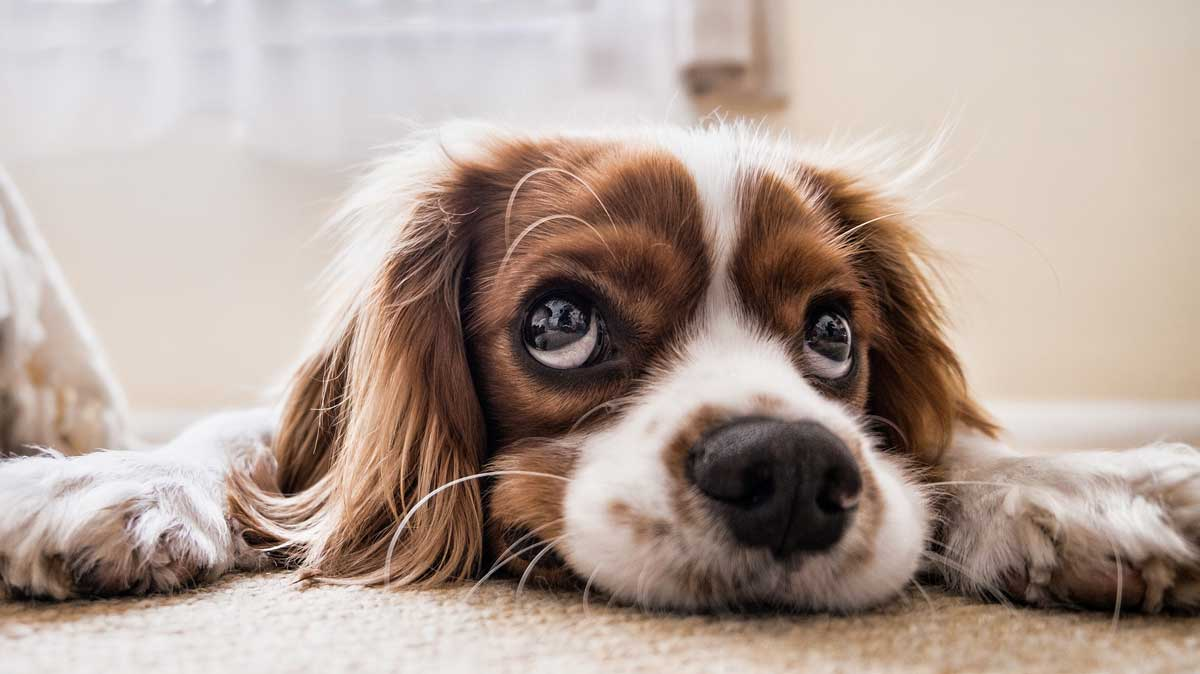 Top Tips For Removing Dog Urine Smell From Carpet Petsblogs