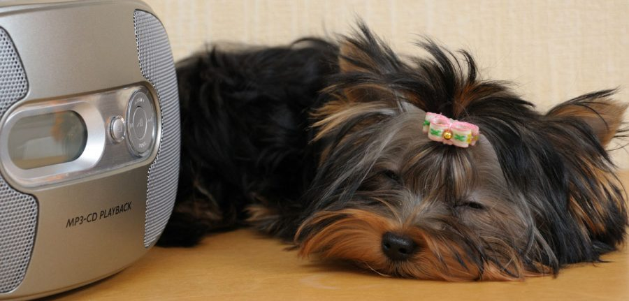 Cute little Yorkie dog asleep in front of a radio.