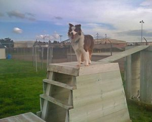 dog at the top of training stairs