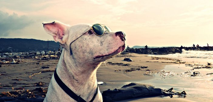 dog in sunglasses on vacation