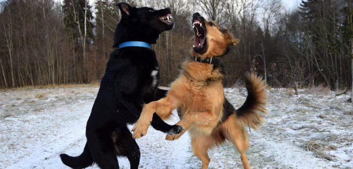 two big dogs fighting