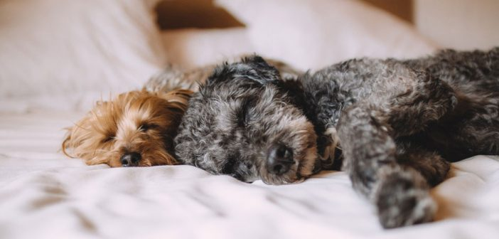 two dogs sleeping in a person's bed
