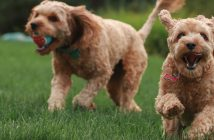 two doodle dogs playing outside