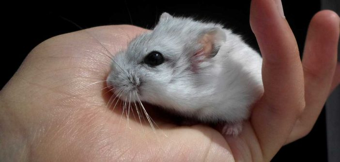 cute little dwarf hamster in a child's hand