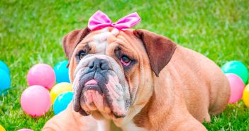 bulldog with a pink bow laying in grass with plastic easter eggs