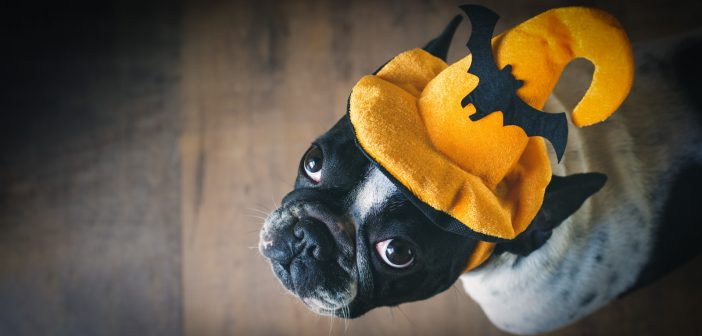 Portrait of French bulldog wearing an orange halloween hat with a black bat on the front