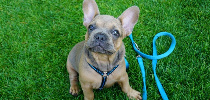 french bulldog with a harness and a leash