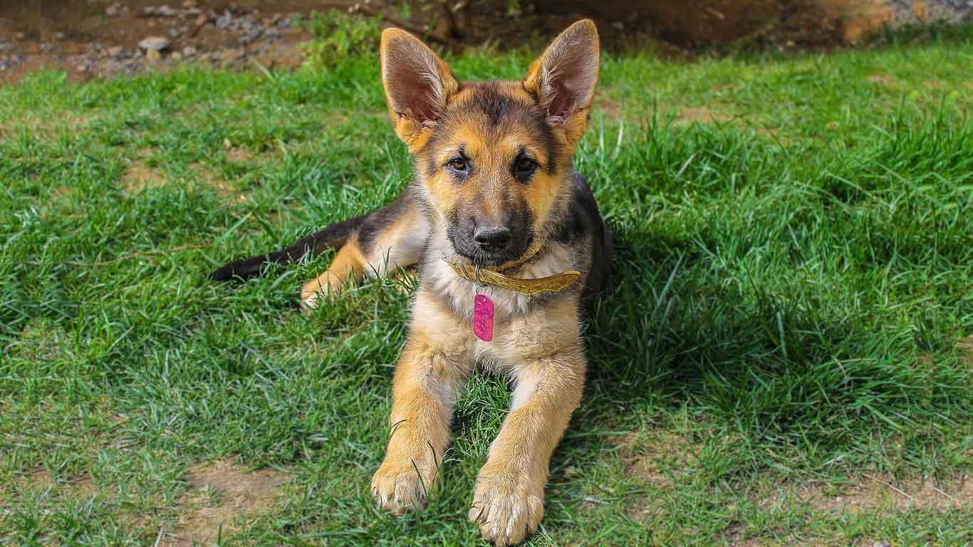 German Shepherd Pet Dog