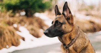 german shepherd intently focused