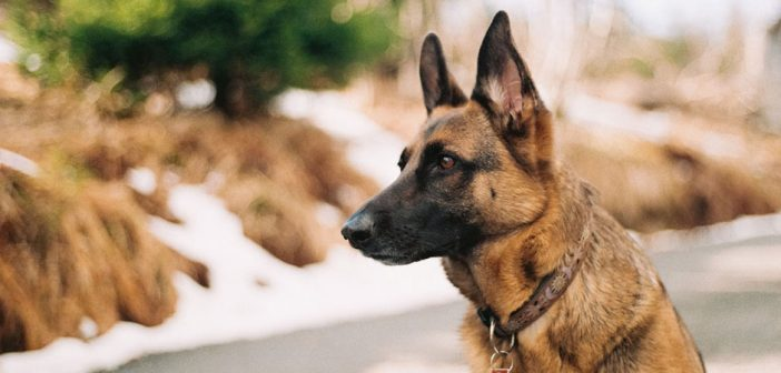 german shepherd intently focused