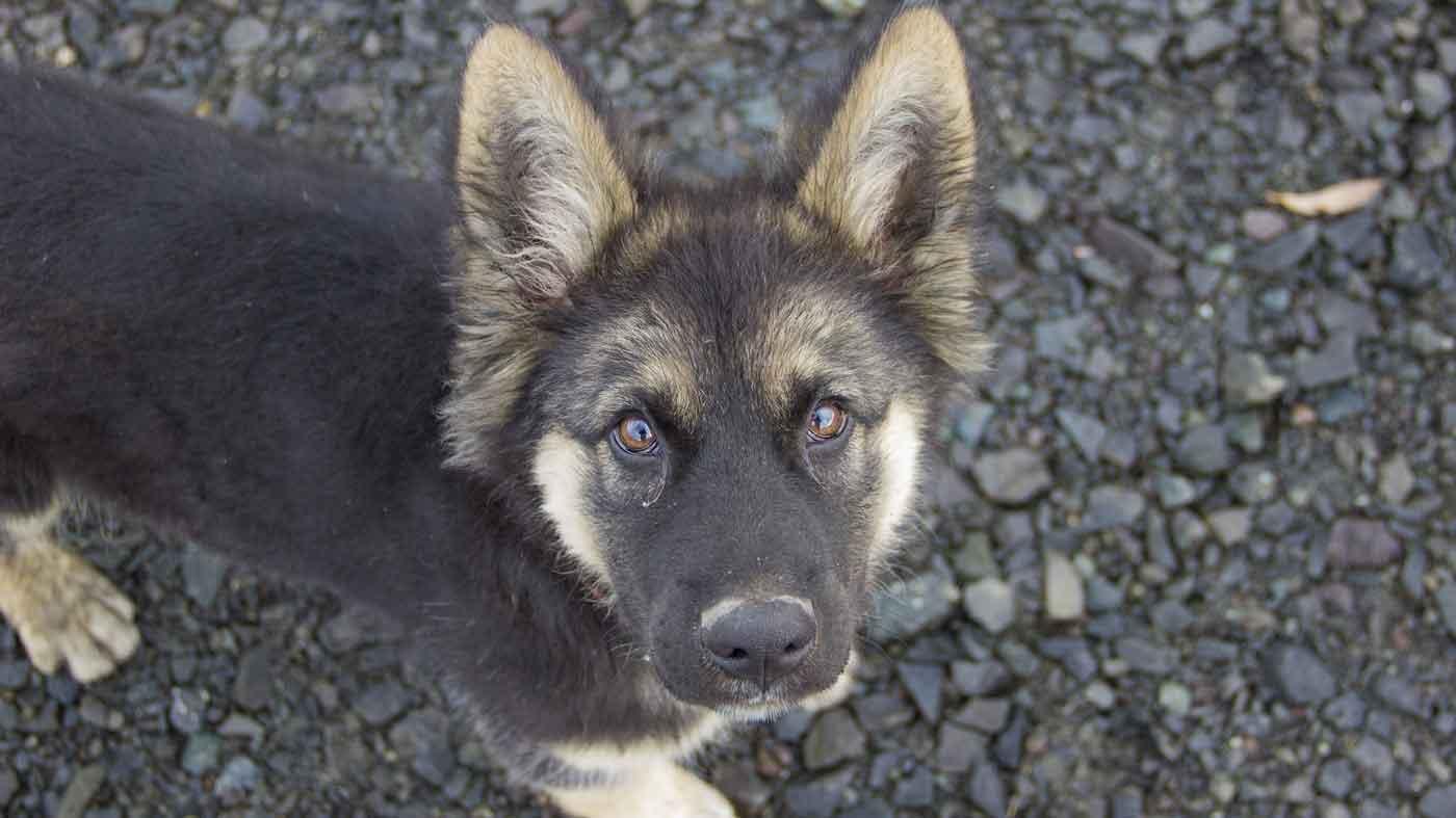 cute german shepherd puppy looking up