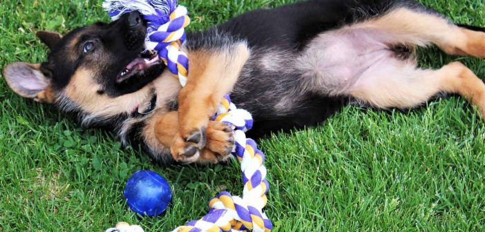german shepherd puppy playing with a toy