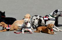 group of service dogs (various breeds)