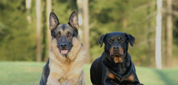 german shepherd and rottweiler guard dogs