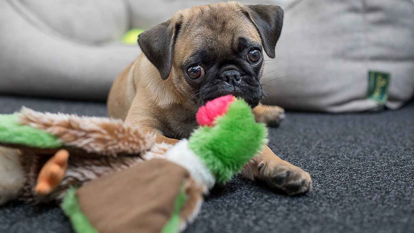 happy pug puppy chewing on toys
