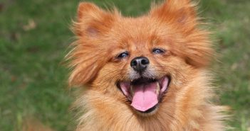 photo of a happy spitz dog outside