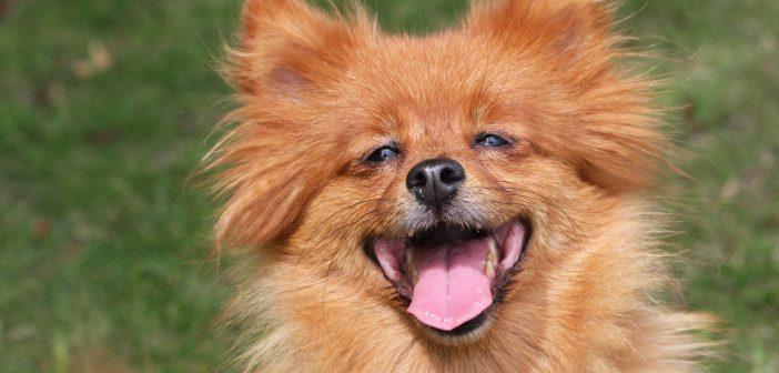 photo of a happy spitz dog outside