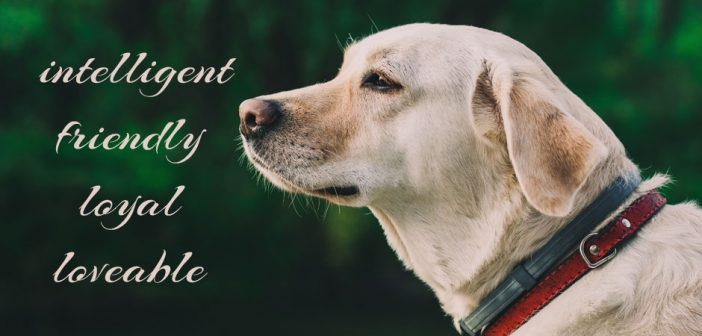 yellow lab with the words intelligent, friendly, loyal, and loveable