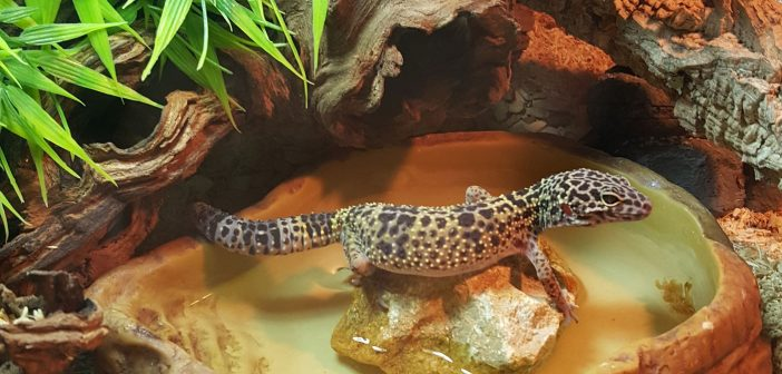 How To Create The Best Habitat for Your Leopard Gecko