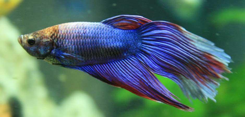 pretty blue beta fish