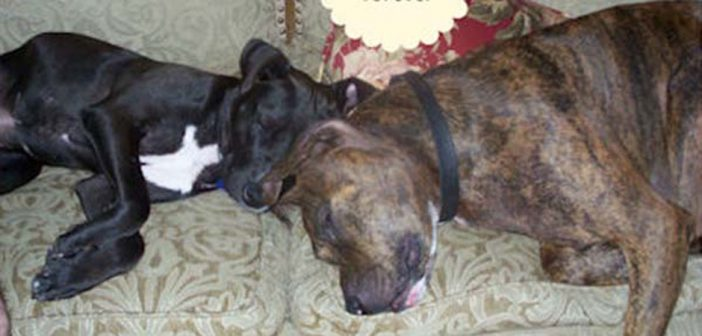 pit bulls bubba and bff sleeping