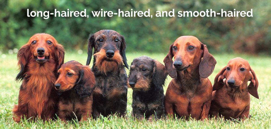 group of long-haired, wire-haired, and smooth-haired dachshund dogs
