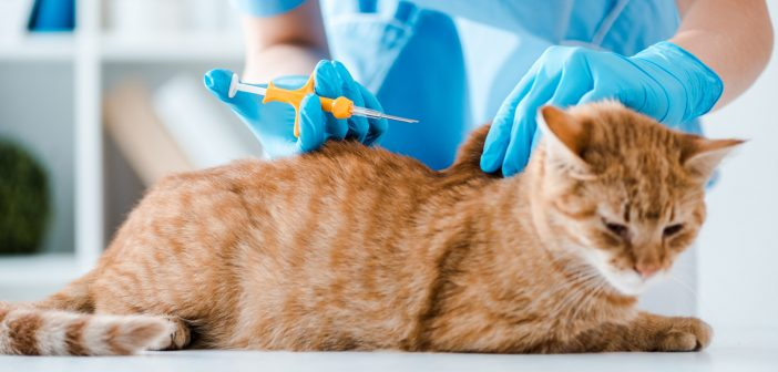 close up of a vet's hands placing a microchip in a tabby cat
