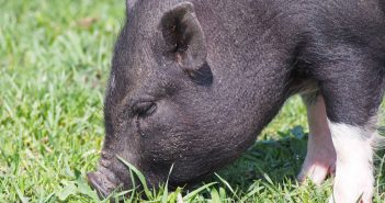 black mini pig grazing grass