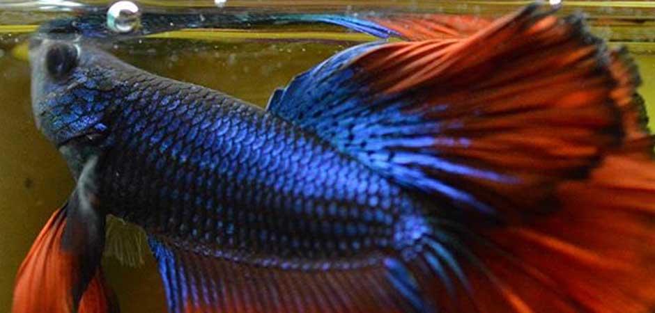 oldest betta fish