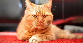 orange cat on red carpet