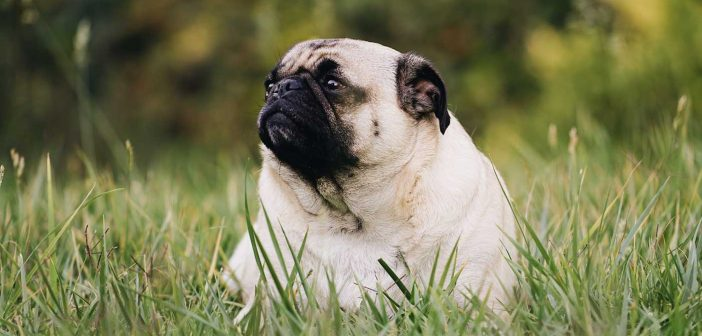 Is Medication the Answer to Helping Your Overweight Dog Lose Weight?
