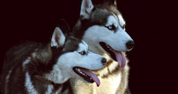 pair of huskies